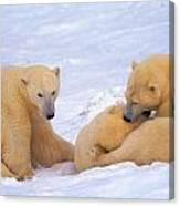 Polar Bear Chew Toy Canvas Print