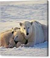 Polar Bear Family Nap Canvas Print
