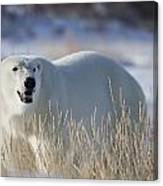 Polar Bear In The Sunshinechurchill Canvas Print