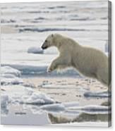 Polar Bear Jumping  Canvas Print
