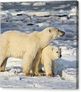 Polar Bear Mother And Cub Canvas Print