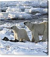 Polar Bear Mother And Cub Sniffing The Air Canvas Print