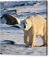 Polar Bear On The Tundra Canvas Print