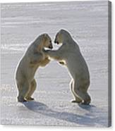 Polar Bear Pair Sparring Churchill Canvas Print