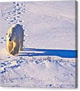 Polar Bear Tracks Canvas Print