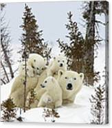 Polar Bear Ursus Maritimus Mother And Cubs Canvas Print