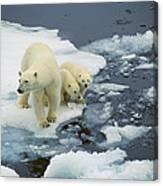 Polar Bear With Cubs On Pack Ice Canvas Print