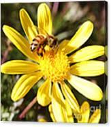 Pollen-laden Bee On Yellow Daisy Canvas Print