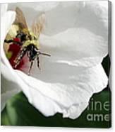 Pollenated Bumblebee Canvas Print