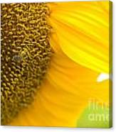 Pollination On Sunflower Canvas Print