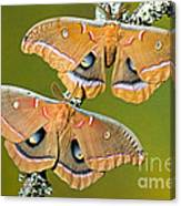 Polyphemus Moths Canvas Print