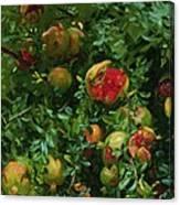 Pomegranates    Majorca Canvas Print