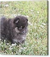 Pomeranian Alert Puppy Canvas Print