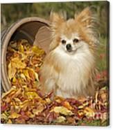 Pomeranian Dog Canvas Print