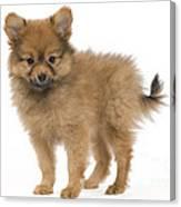 Pomeranian Puppy Dog Canvas Print