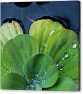 Pond Lettuce Canvas Print