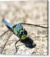 Pondhawk Upclose Canvas Print