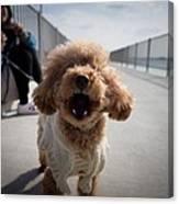Poodle Dog Canvas Print