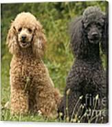 Poodle Dogs Canvas Print
