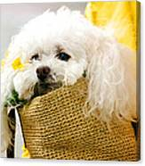 Poodle In Pouch Canvas Print