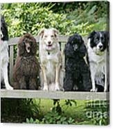 Poodles And Other Dogs On A Bench Canvas Print
