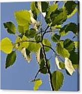 Poplar Leaves Canvas Print