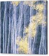 Poplar Trees In Autumn, Grey Creek Canvas Print