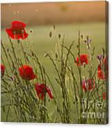 Poppies At Sundown Canvas Print