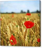 Poppies In Grain Field Canvas Print