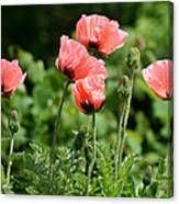 Poppies In My Garden Canvas Print
