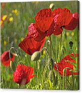 Poppies In Yorkshire Canvas Print