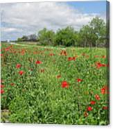 Poppies Near Hondo Canvas Print