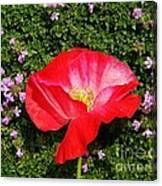 Poppy On Thyme  Canvas Print