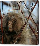 Porcupine And Berries Canvas Print