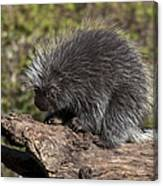 Porcupine Looking For Food Canvas Print