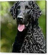 Portrait Black Curly Coated Retriever Dog Canvas Print