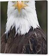 Portrait Of A Bald Eagle In Gaspesie Canvas Print