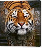 Portrait Of A Bathing Siberian Tiger Canvas Print