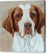 Portrait Of A Brittany Spaniel Canvas Print