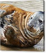 Portrait Of A Common Seal  Canvas Print