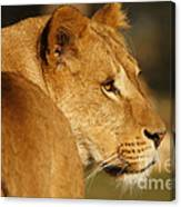 Portrait Of A Dreamy Lioness  Canvas Print