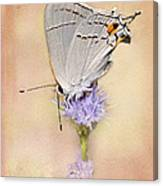 Portrait Of A Gray Hairstreak Canvas Print