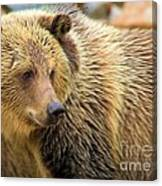 Portrait Of A Grizzly Canvas Print