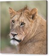 Portrait Of A Lioness, Panthera Leo Canvas Print