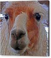 Portrait Of A Llama Canvas Print