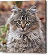 Portrait Of A Maine Coon Kitten Canvas Print