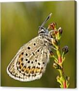 Portrait Of A Morning Dew Butterfly Canvas Print