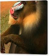 Portrait Of A Primate  Canvas Print