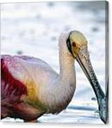 Portrait Of A Roseate Spoonbill Canvas Print