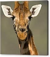 Portrait Of A Rothchilds Giraffe Canvas Print